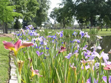 A lovely field of irises on Dr. Labode's home.