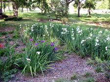 Another view of the Pond Pump Irises