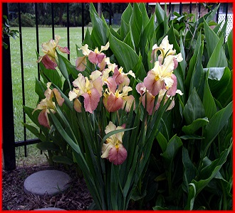 SECOND CATEGORY  -            IRISES  BY  COLOR  (Click here to View)