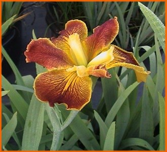 FIRST CATEGORY --Registered  Irises  (Click here to View)