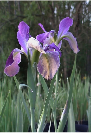 Louisiana Iris and dew